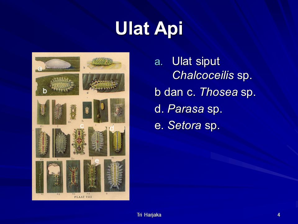 Ulat Api Ulat siput Chalcoceilis sp. b dan c. Thosea sp. d. Parasa sp.