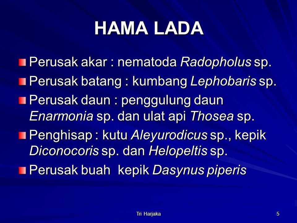 HAMA LADA Perusak akar : nematoda Radopholus sp.