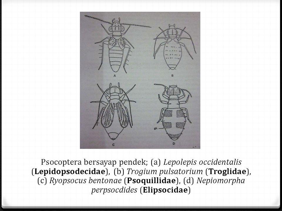 Psocoptera bersayap pendek; (a) Lepolepis occidentalis (Lepidopsodecidae), (b) Trogium pulsatorium (Troglidae), (c) Ryopsocus bentonae (Psoquillidae), (d) Nepiomorpha perpsocdides (Elipsocidae)