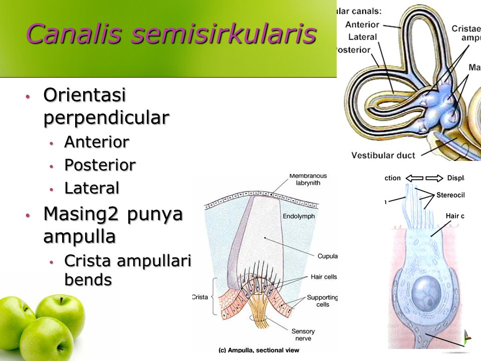 Canalis semisirkularis