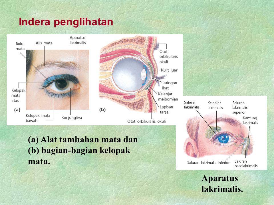 Indera penglihatan (a) Alat tambahan mata dan (b) bagian-bagian kelopak mata. Aparatus lakrimalis.