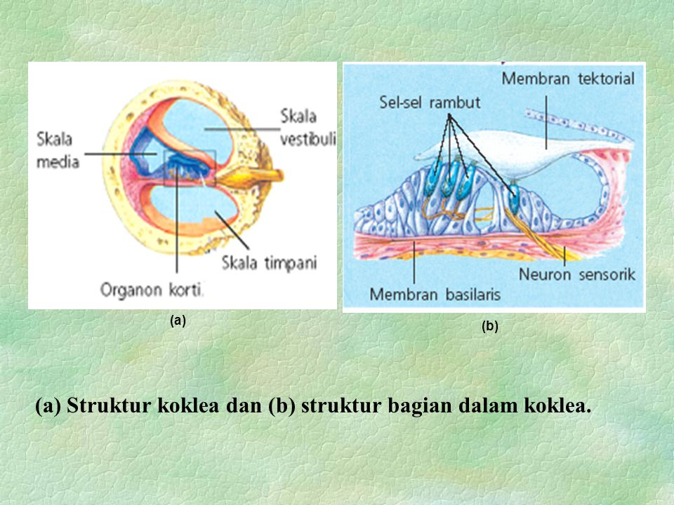 (a) Struktur koklea dan (b) struktur bagian dalam koklea.