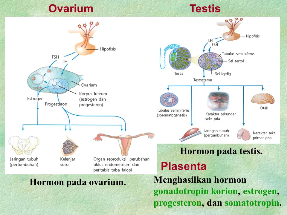Ovarium Testis Plasenta Hormon pada testis.