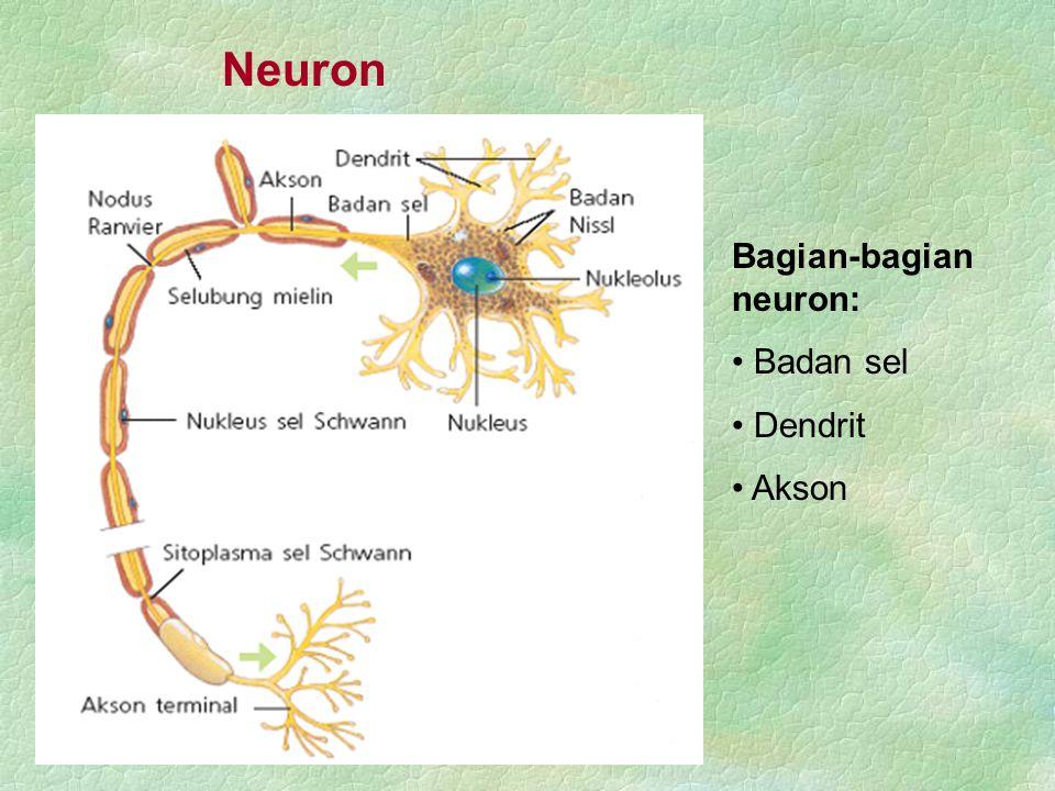 Neuron Bagian-bagian neuron: Badan sel Dendrit Akson
