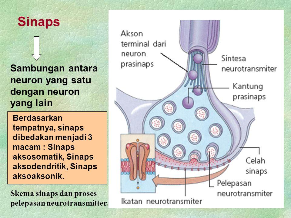 Sinaps Sambungan antara neuron yang satu dengan neuron yang lain