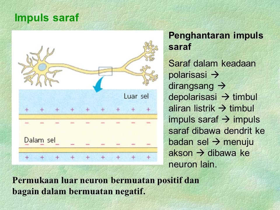 Impuls saraf Penghantaran impuls saraf