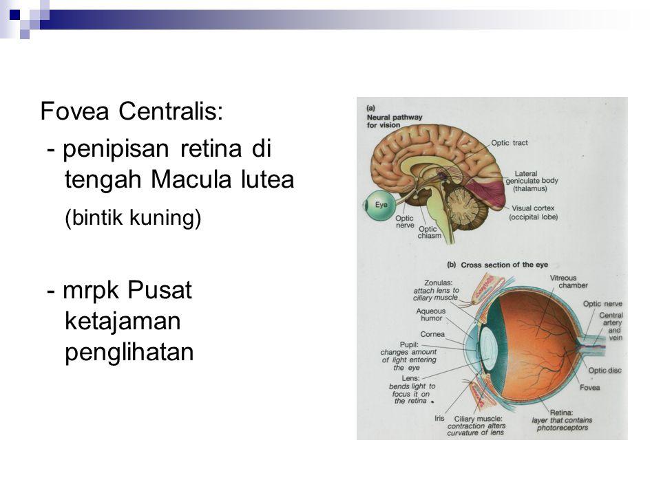 Fovea Centralis: - penipisan retina di tengah Macula lutea.