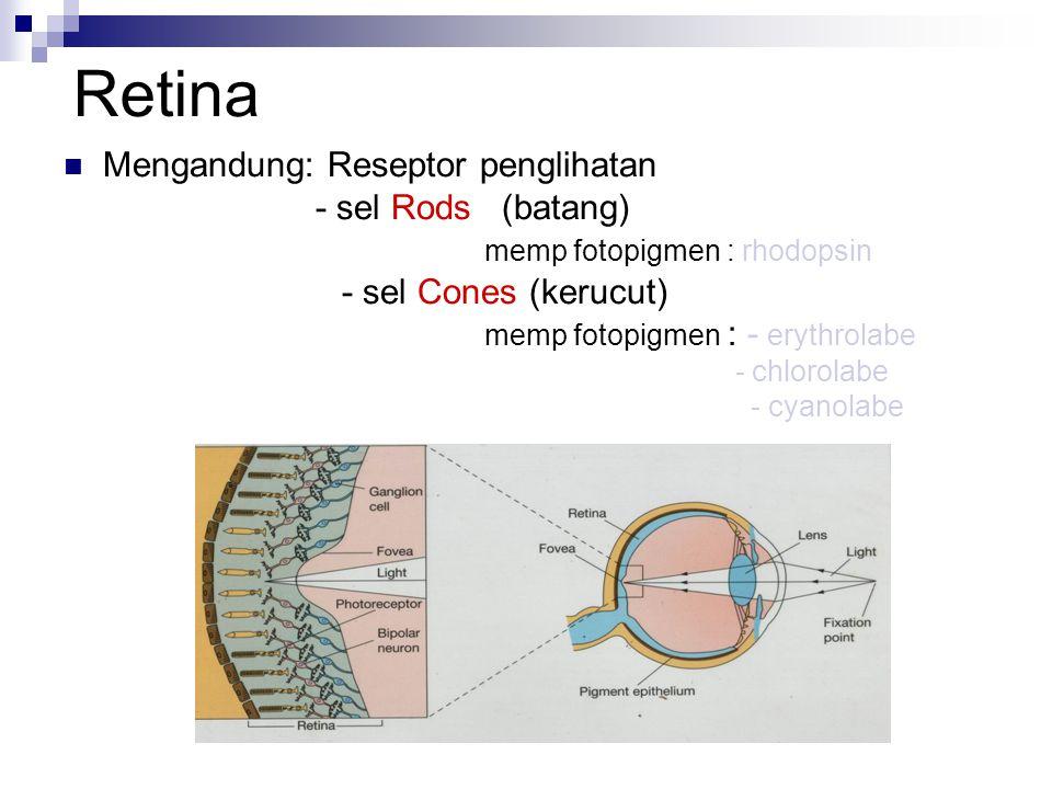 Retina Mengandung: Reseptor penglihatan - sel Rods (batang)