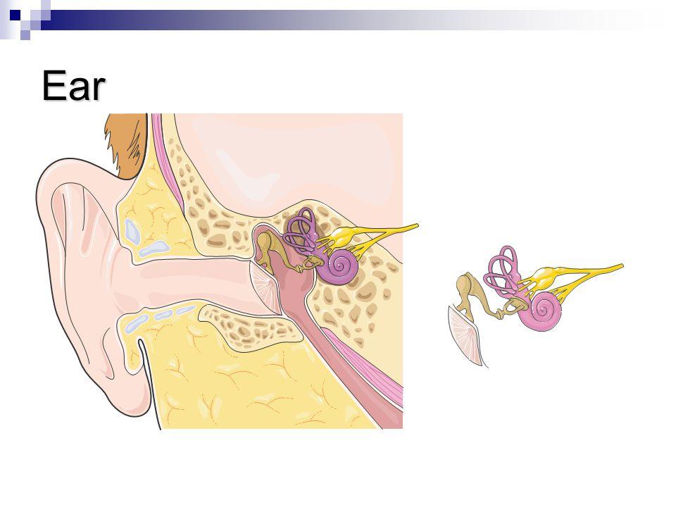 Ear Anvil Auditive nerve Hammer Cochlea Stirrup Eardrum