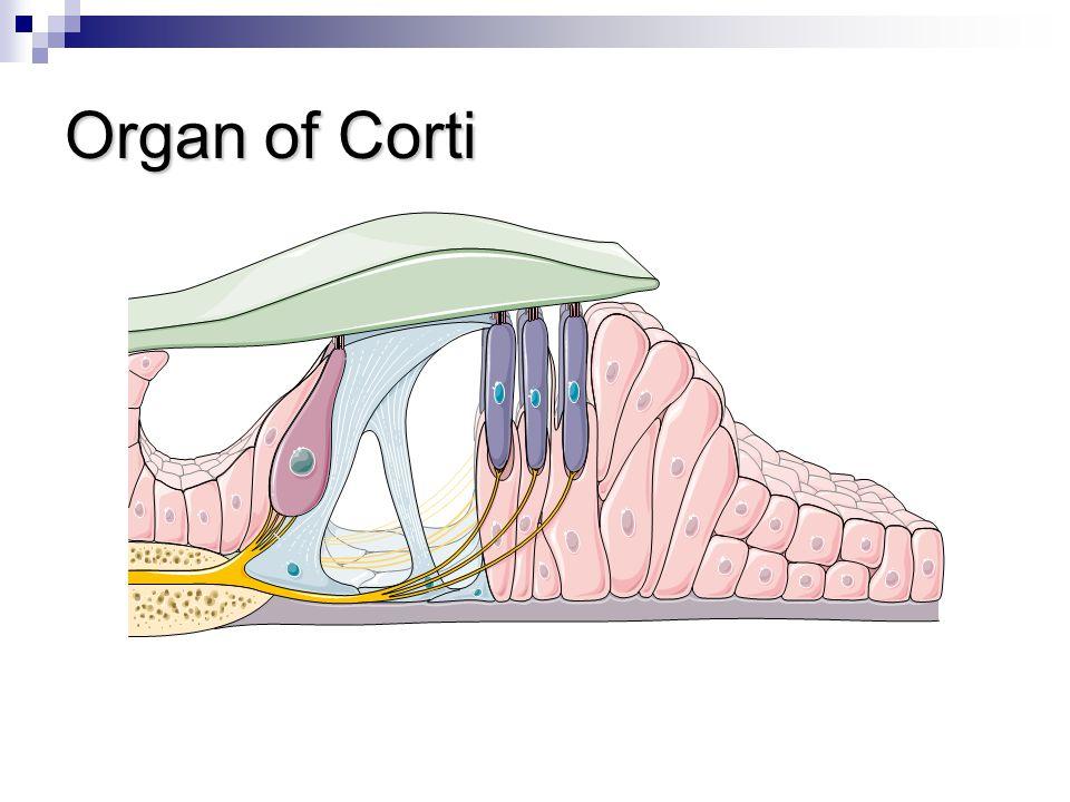 Organ of Corti