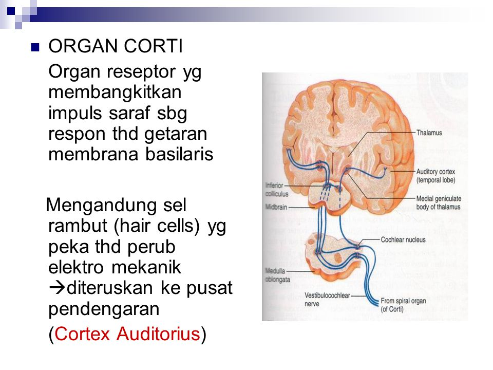 ORGAN CORTI Organ reseptor yg membangkitkan impuls saraf sbg respon thd getaran membrana basilaris.