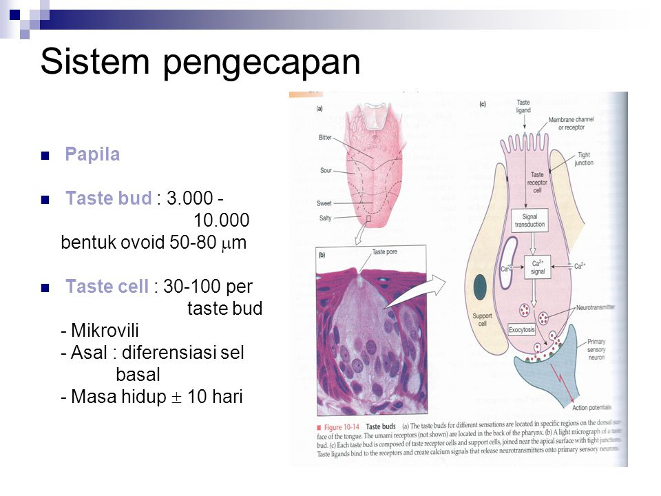 Sistem pengecapan Papila Taste bud : 3.000 - 10.000