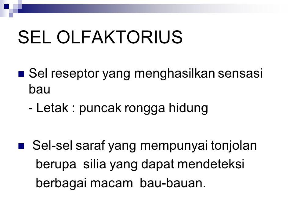SEL OLFAKTORIUS Sel reseptor yang menghasilkan sensasi bau
