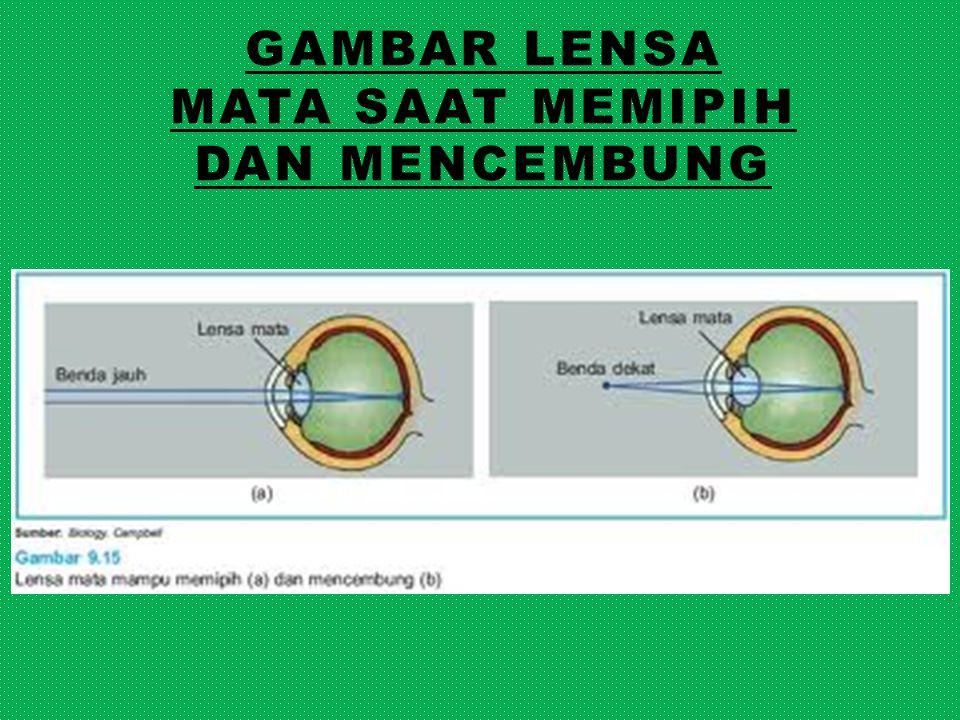 Gambar lensa mata saat memipih dan mencembung
