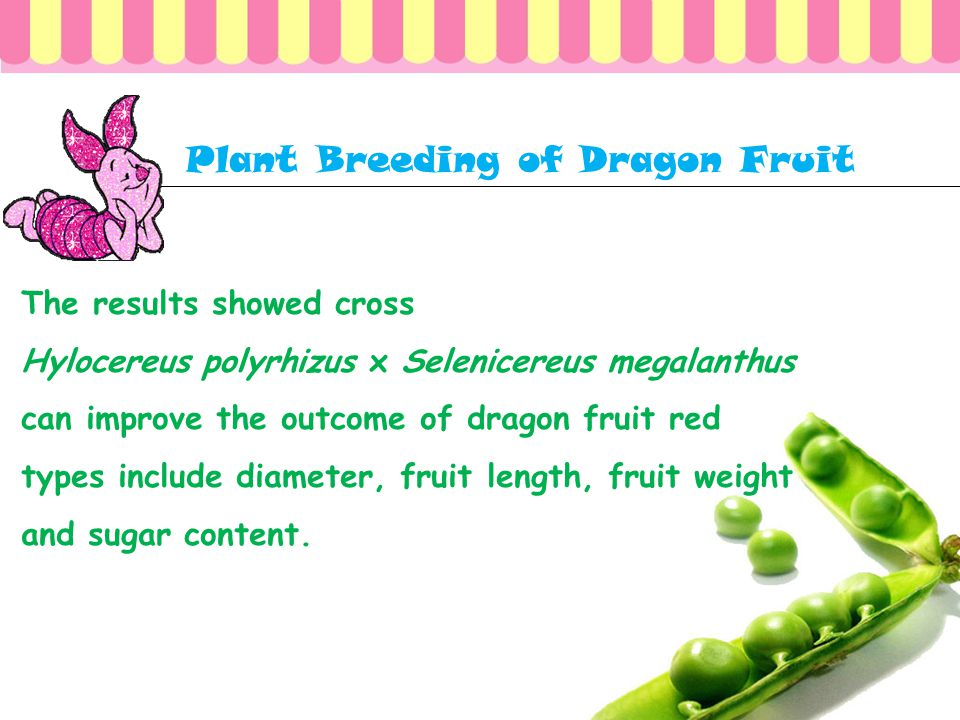 Plant Breeding of Dragon Fruit