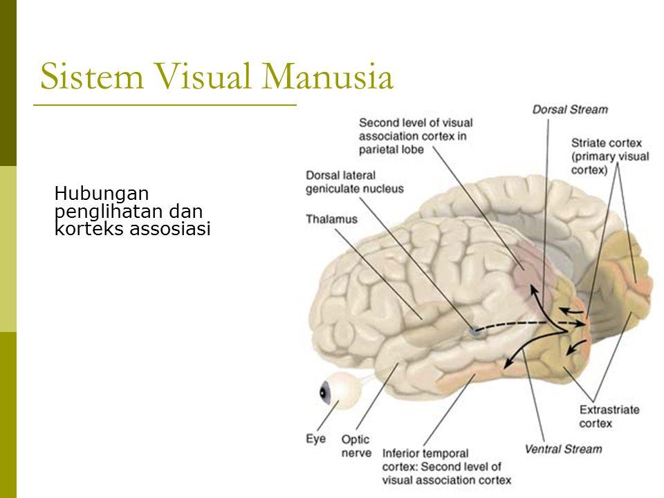 Sistem Visual Manusia Hubungan penglihatan dan korteks assosiasi