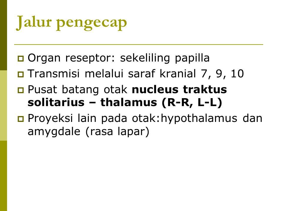 Jalur pengecap Organ reseptor: sekeliling papilla