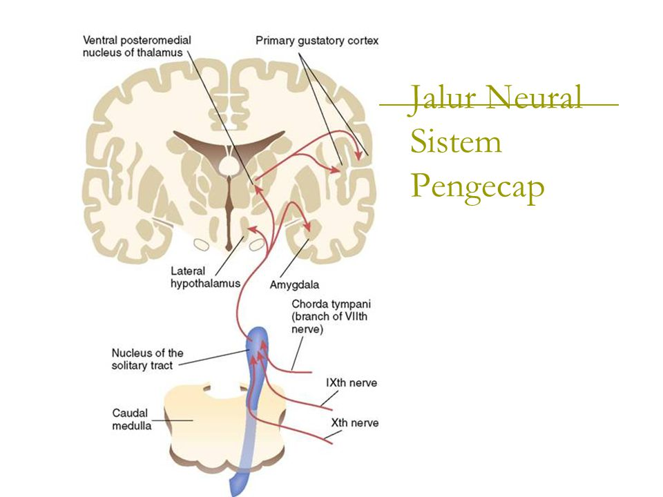 Jalur Neural Sistem Pengecap
