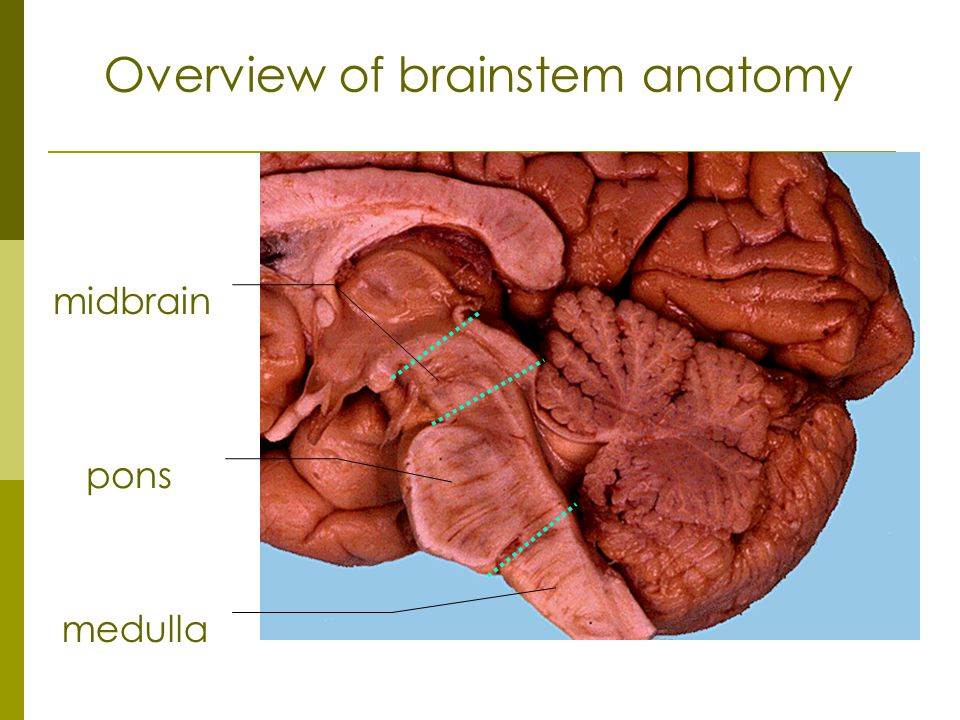 Overview of brainstem anatomy