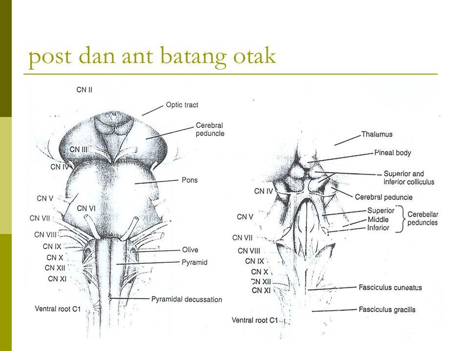 post dan ant batang otak