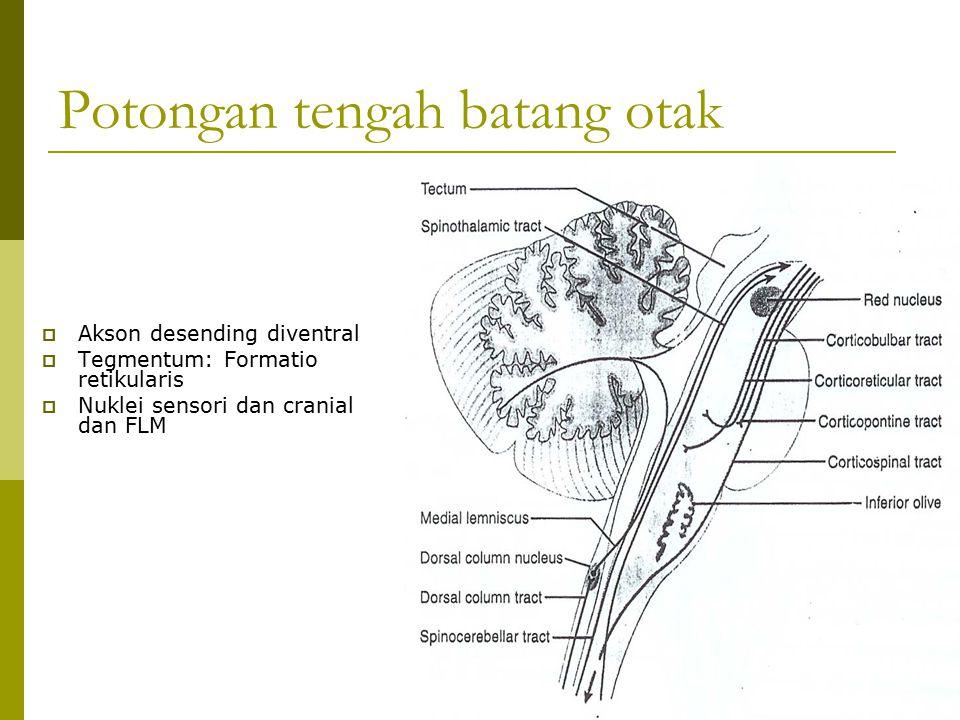 Potongan tengah batang otak