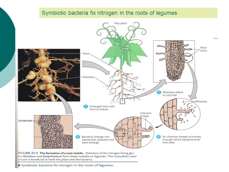 Symbiotic bacteria fix nitrogen in the roots of legumes