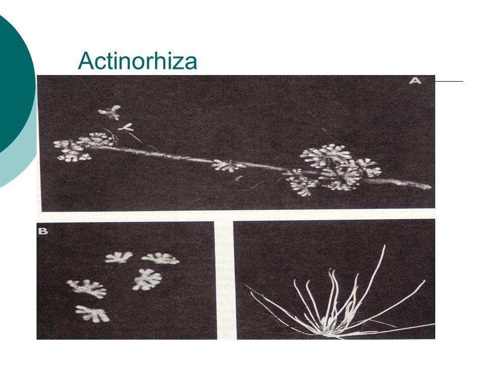 Actinorhiza