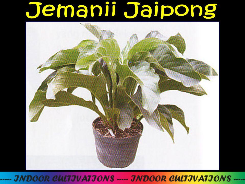Jemanii Jaipong