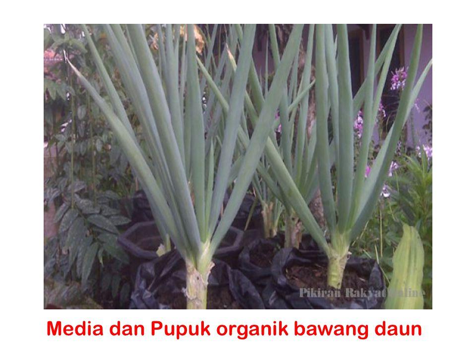 Media dan Pupuk organik bawang daun