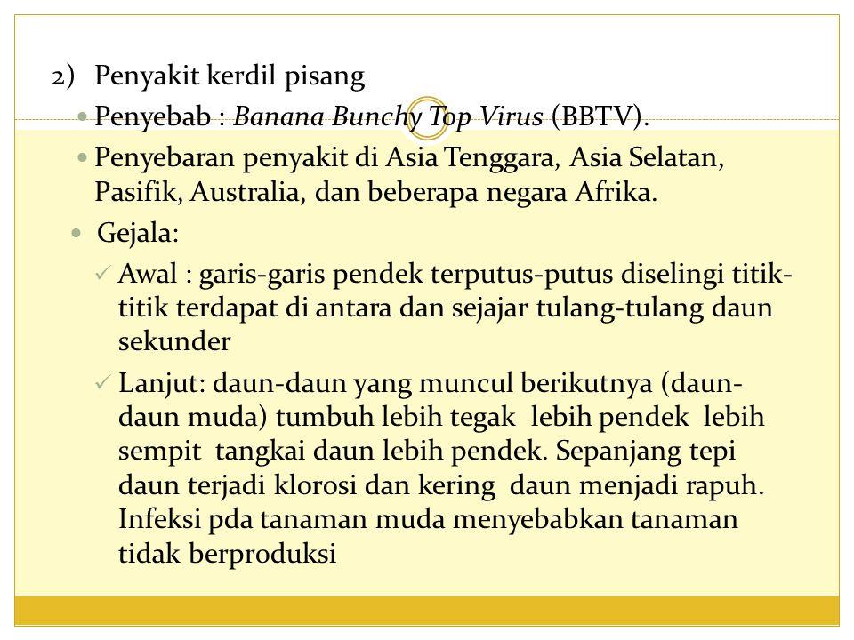 2) Penyakit kerdil pisang
