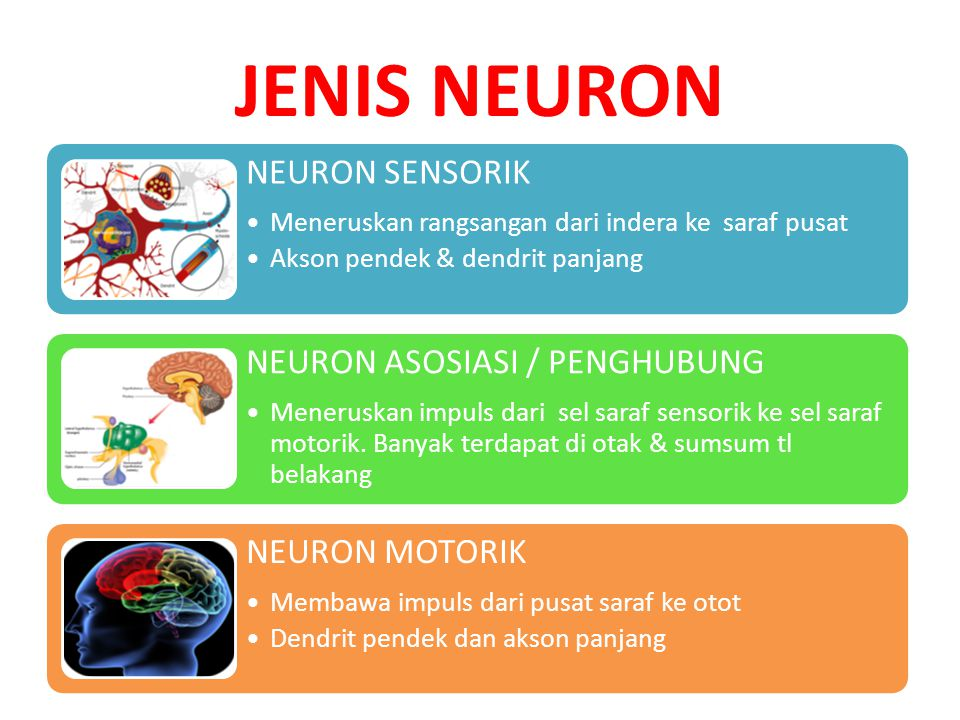 JENIS NEURON NEURON SENSORIK