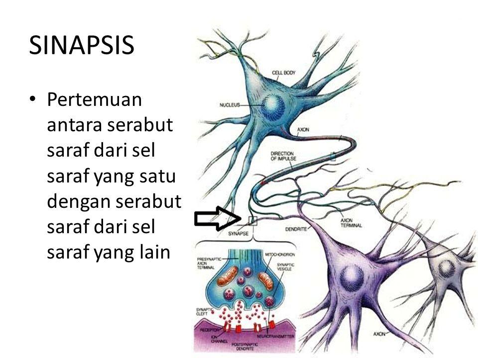 SINAPSIS Pertemuan antara serabut saraf dari sel saraf yang satu dengan serabut saraf dari sel saraf yang lain.
