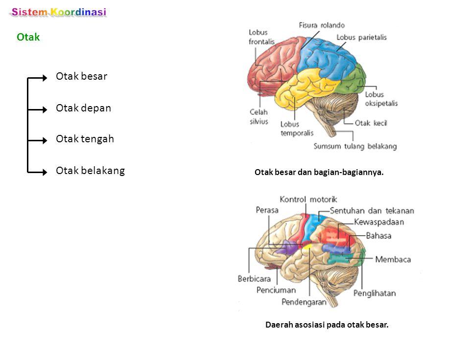 Otak besar dan bagian-bagiannya. Daerah asosiasi pada otak besar.