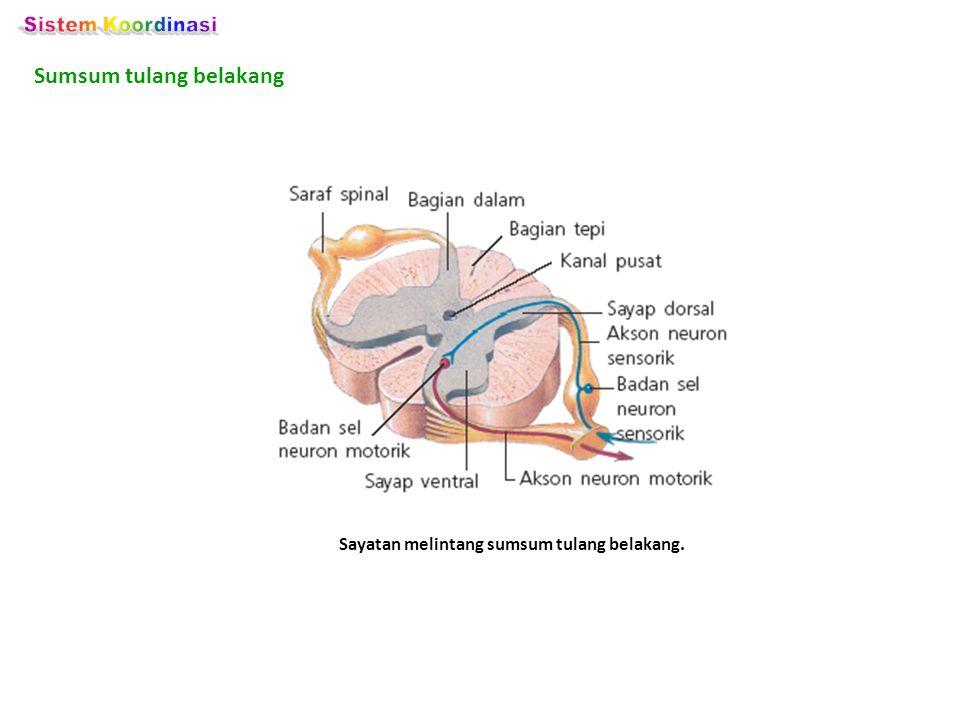 Sayatan melintang sumsum tulang belakang.
