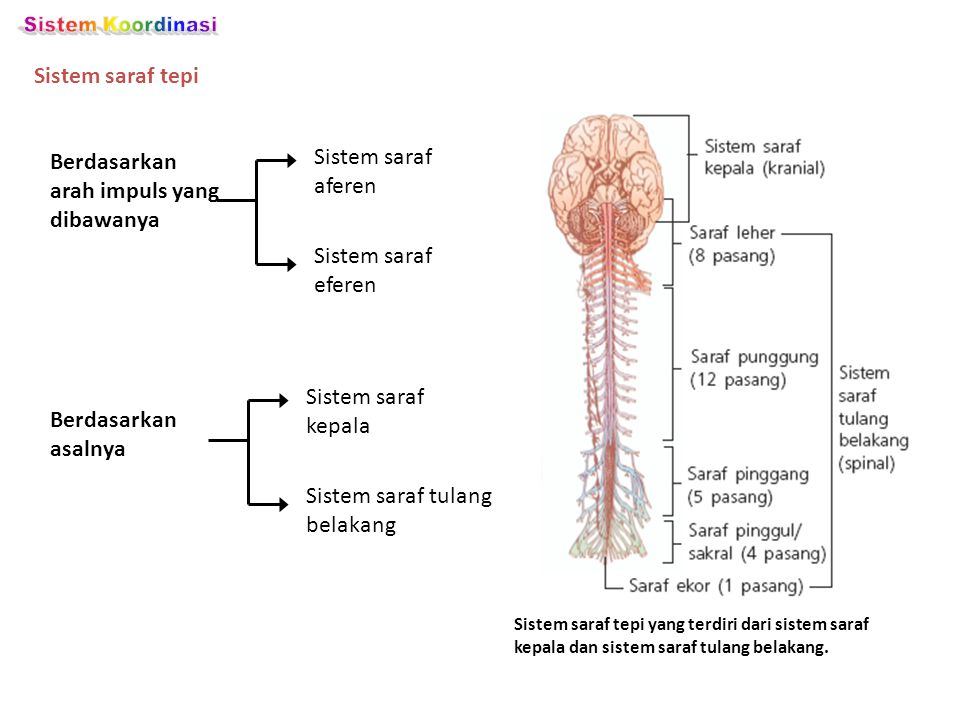 Sistem Koordinasi Sistem saraf tepi Sistem saraf aferen