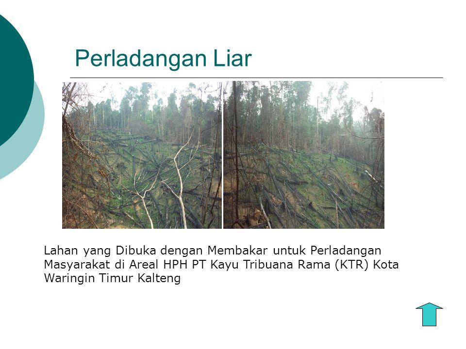 Perladangan Liar Lahan yang Dibuka dengan Membakar untuk Perladangan Masyarakat di Areal HPH PT Kayu Tribuana Rama (KTR) Kota Waringin Timur Kalteng.