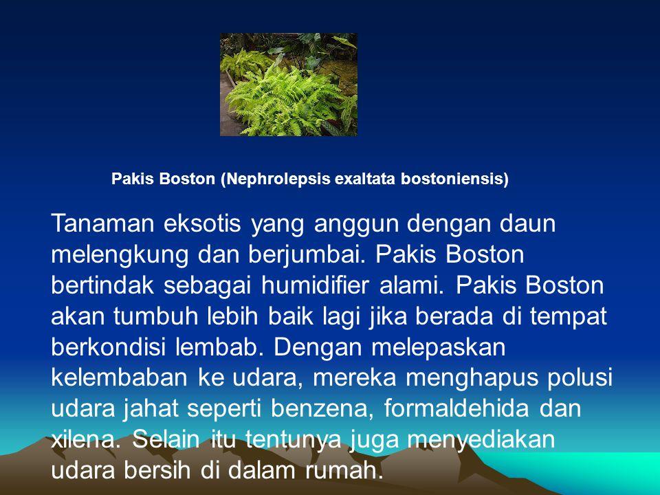 Pakis Boston (Nephrolepsis exaltata bostoniensis)