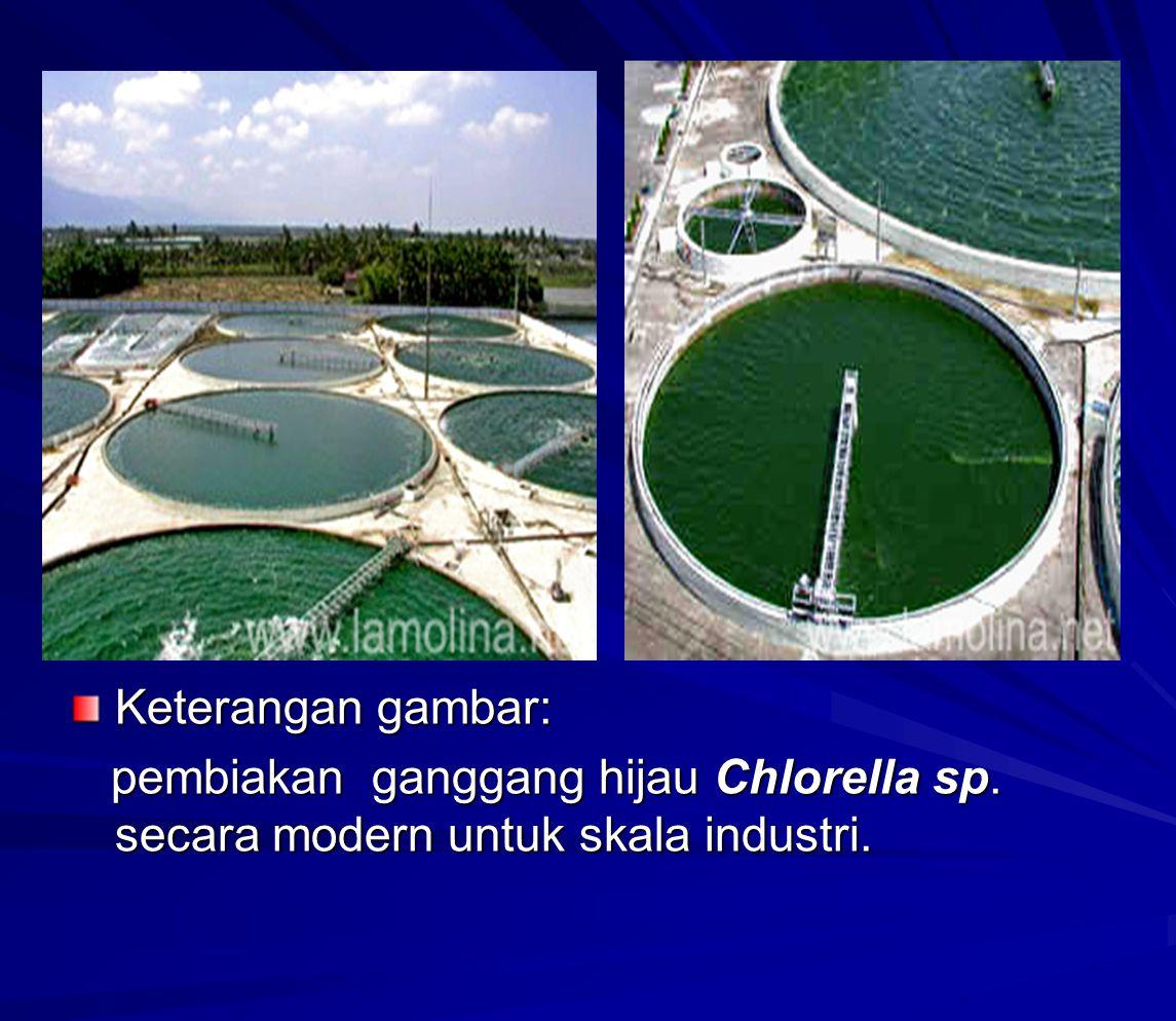 Keterangan gambar: pembiakan ganggang hijau Chlorella sp. secara modern untuk skala industri.