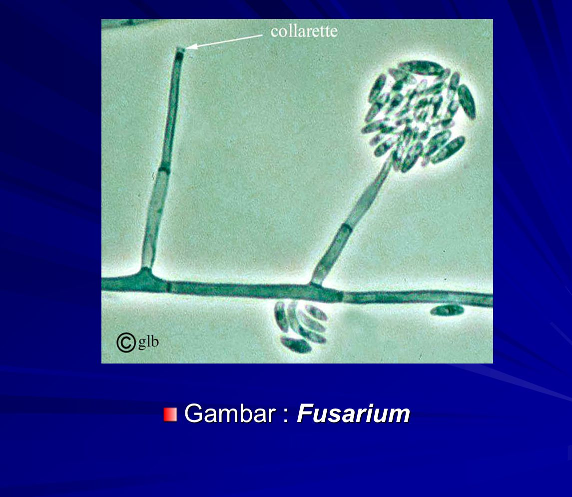 Gambar : Fusarium
