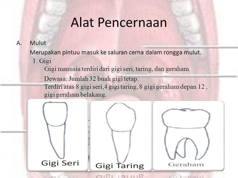 Alat Pencernaan Mulut. Merupakan pintuu masuk ke saluran cerna dalam rongga mulut. 1. Gigi.
