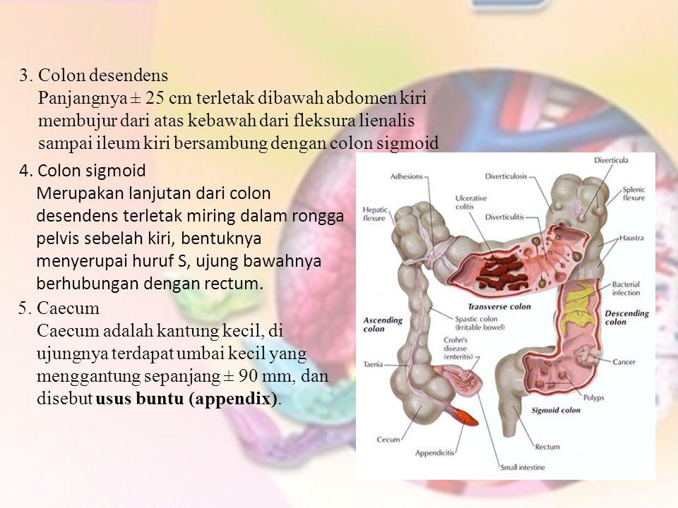3. Colon desendens Panjangnya ± 25 cm terletak dibawah abdomen kiri. membujur dari atas kebawah dari fleksura lienalis.