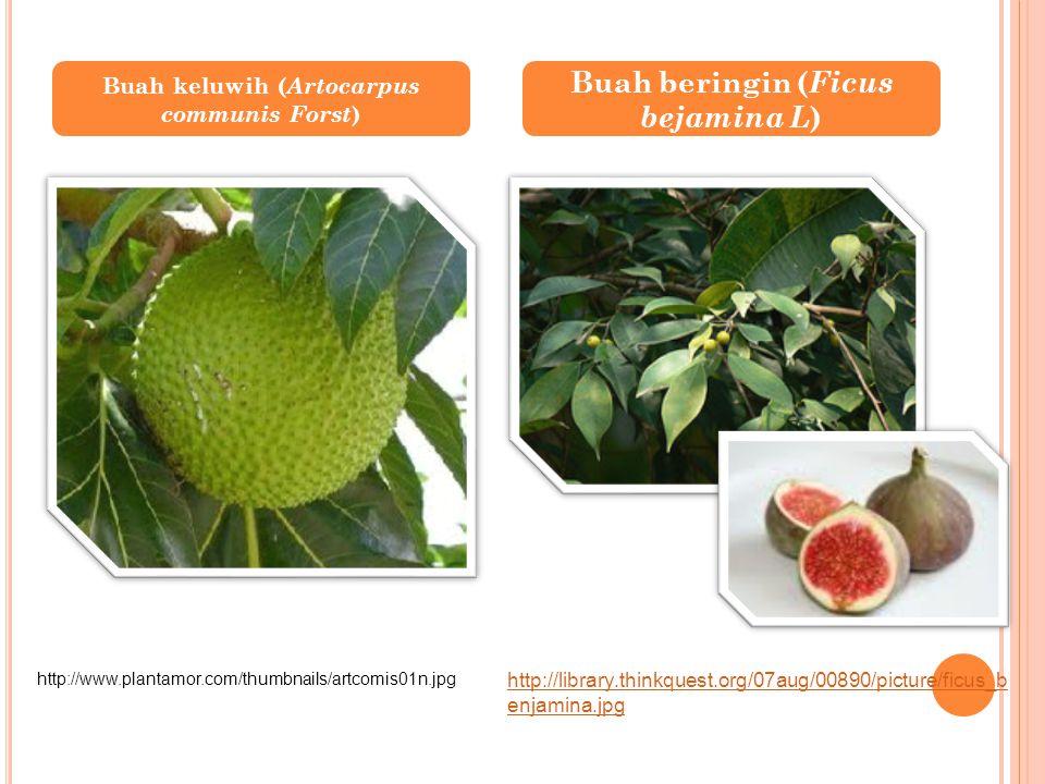 Buah beringin (Ficus bejamina L)