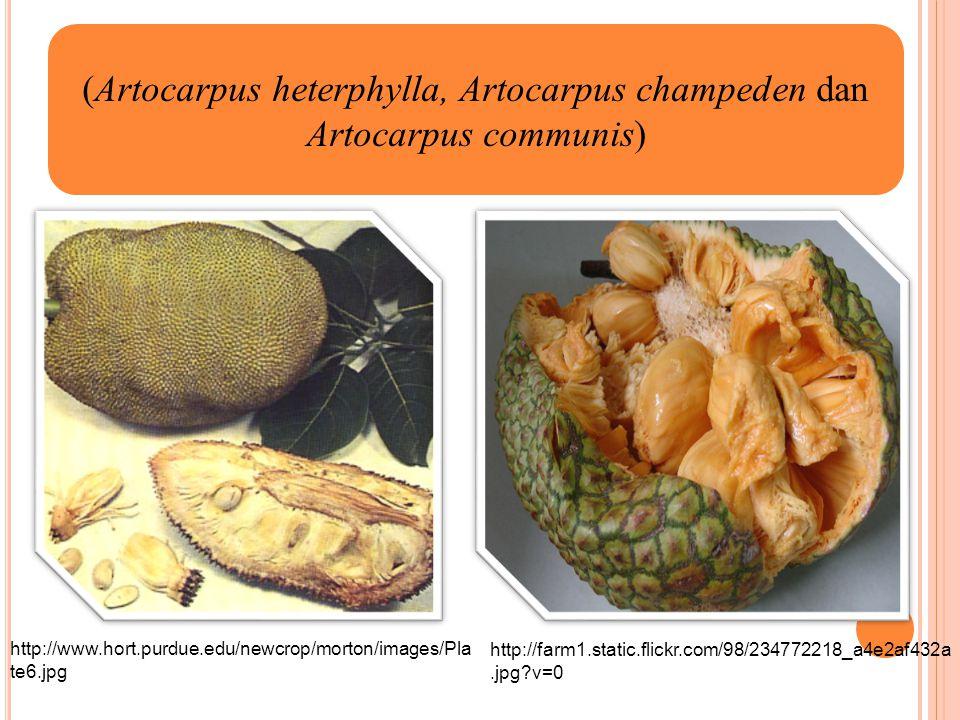 (Artocarpus heterphylla, Artocarpus champeden dan Artocarpus communis)