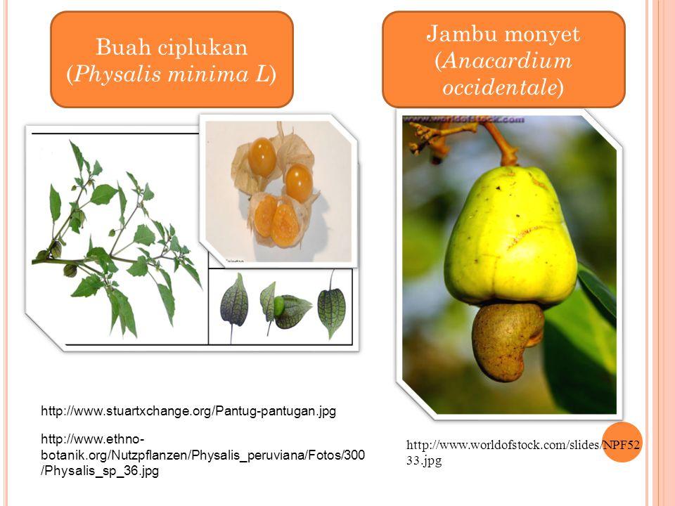Buah ciplukan (Physalis minima L)
