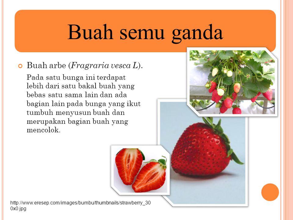 Buah semu ganda Buah arbe (Fragraria vesca L).