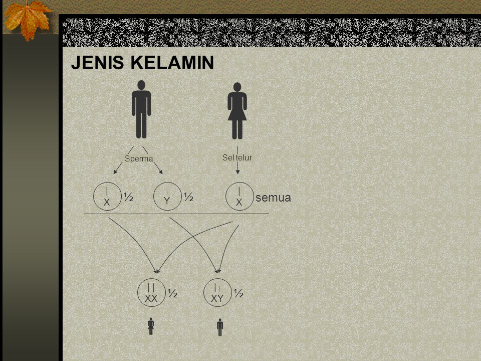 JENIS KELAMIN   | X Y Sperma Sel telur ½ semua | | XX XY