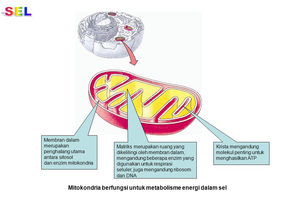 SEL Mitokondria berfungsi untuk metabolisme energi dalam sel