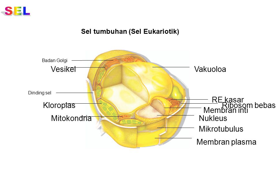 SEL Vesikel Vakuoloa RE kasar Kloroplas Ribosom bebas Membran inti