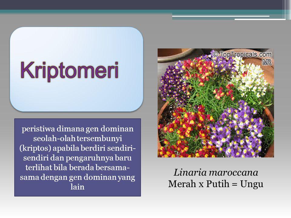 Kriptomeri Linaria maroccana Merah x Putih = Ungu