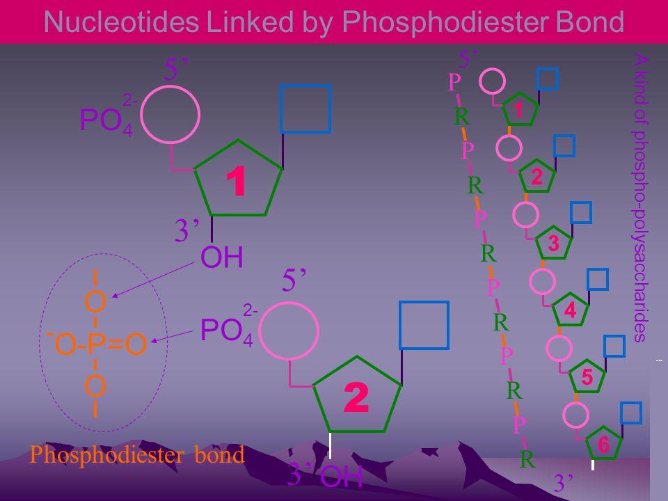 Nucleotides Linked by Phosphodiester Bond